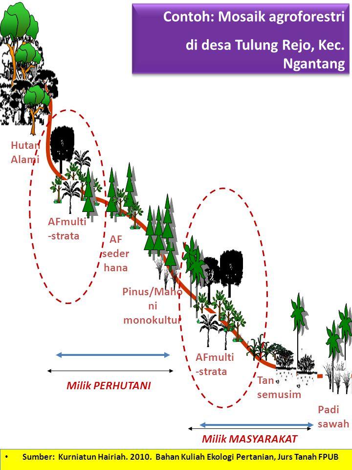 Pinus/Mahoni monokultur