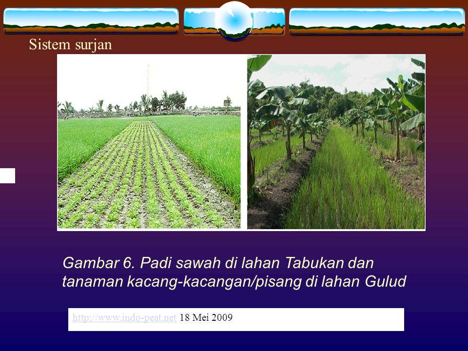 Sistem surjan http://www.indo-peat.net 18 Mei 2009. Gambar 6. Padi sawah di lahan Tabukan dan tanaman kacang-kacangan/pisang di lahan Gulud.