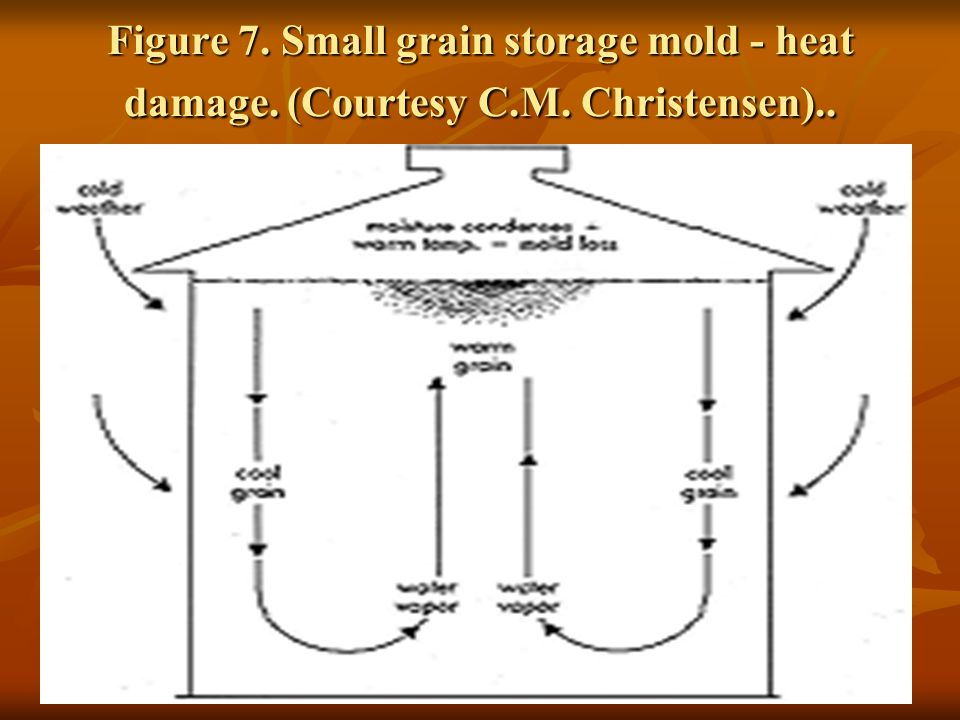 Figure 7. Small grain storage mold - heat damage. (Courtesy C. M