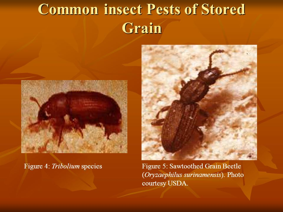 Common insect Pests of Stored Grain