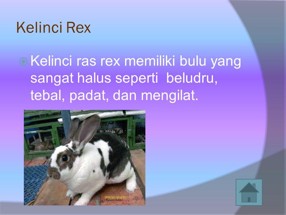 Kelinci Rex Kelinci ras rex memiliki bulu yang sangat halus seperti beludru, tebal, padat, dan mengilat.