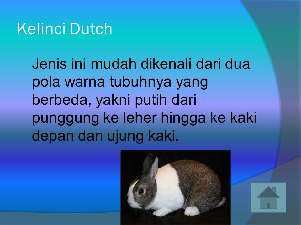 Kelinci Dutch