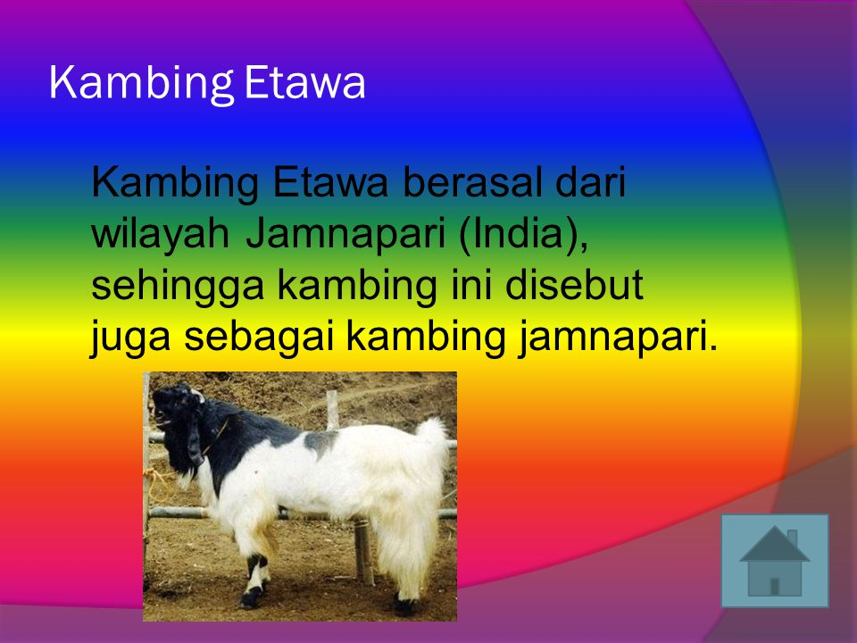 Kambing Etawa Kambing Etawa berasal dari wilayah Jamnapari (India), sehingga kambing ini disebut juga sebagai kambing jamnapari.