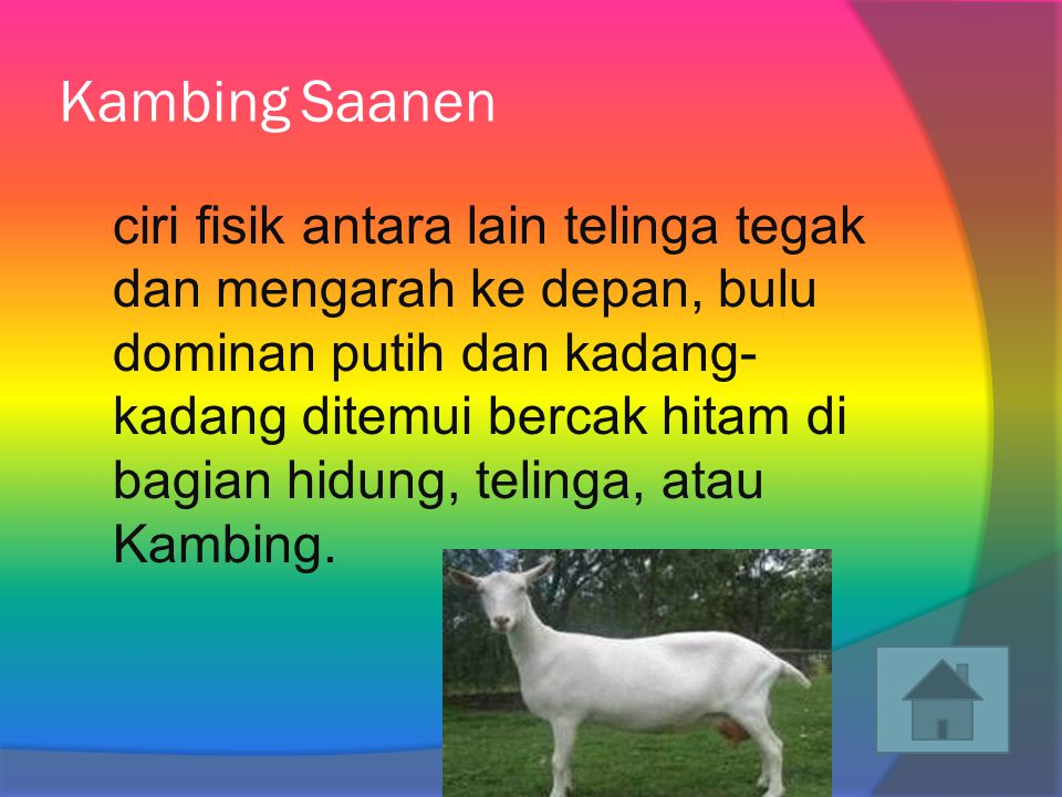 Kambing Saanen