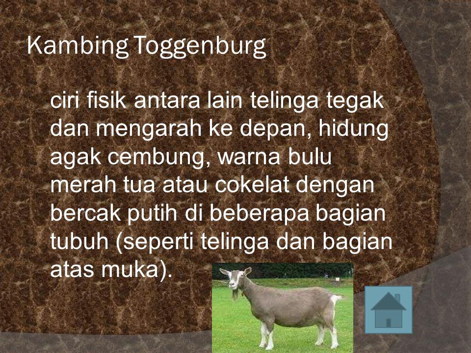 Kambing Toggenburg