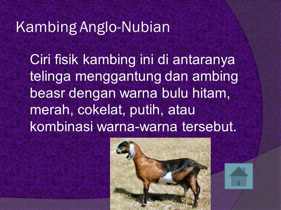 Kambing Anglo-Nubian
