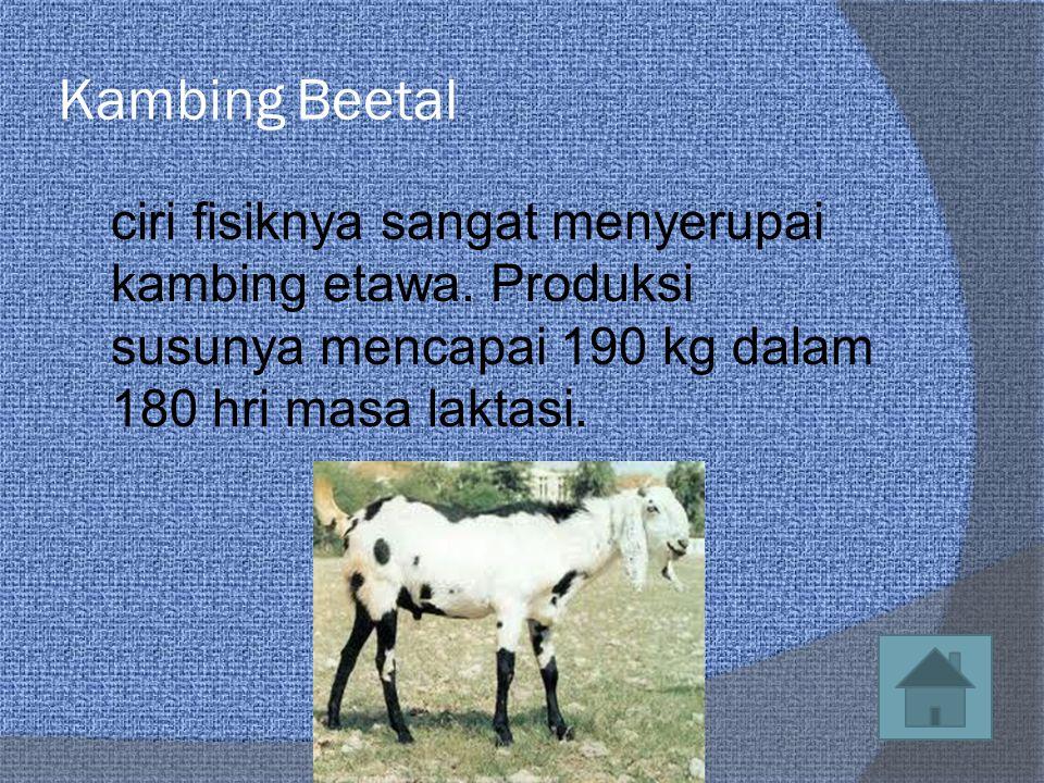 Kambing Beetal ciri fisiknya sangat menyerupai kambing etawa.