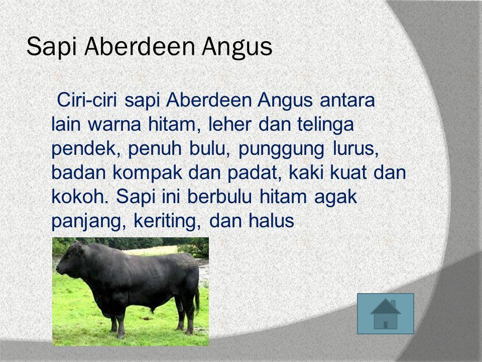 Sapi Aberdeen Angus