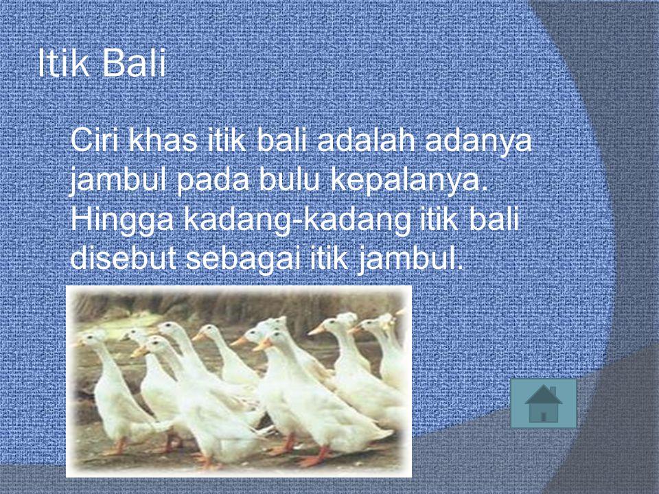 Itik Bali Ciri khas itik bali adalah adanya jambul pada bulu kepalanya.