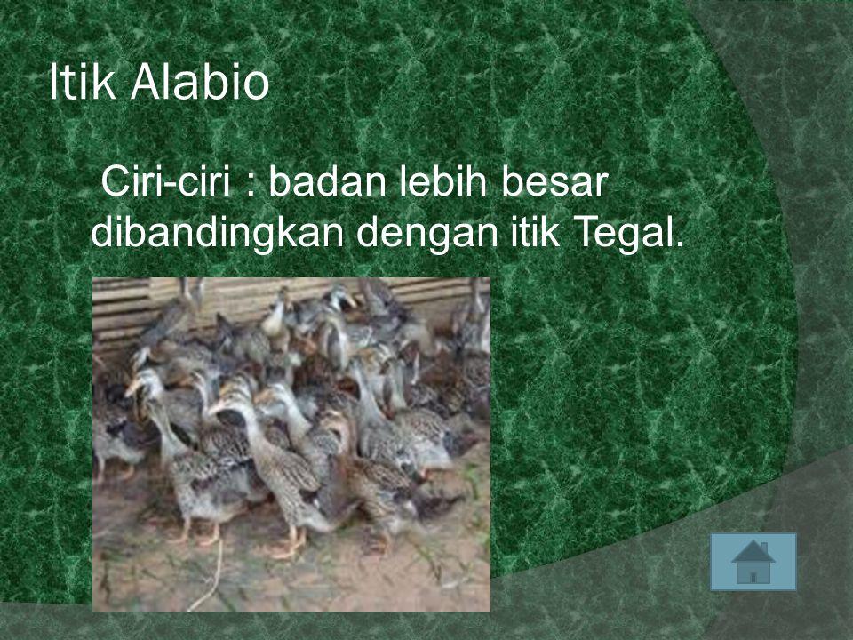 Itik Alabio Ciri-ciri : badan lebih besar dibandingkan dengan itik Tegal.