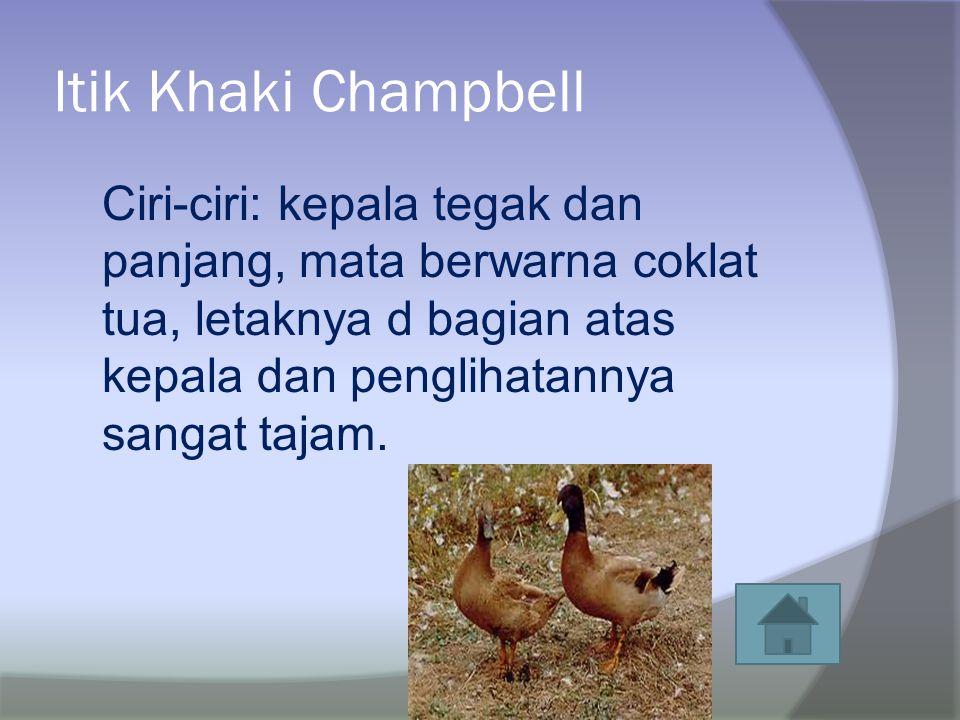 Itik Khaki Champbell Ciri-ciri: kepala tegak dan panjang, mata berwarna coklat tua, letaknya d bagian atas kepala dan penglihatannya sangat tajam.