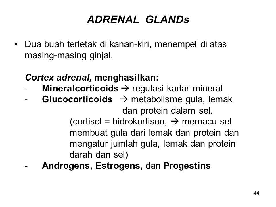 ADRENAL GLANDs Dua buah terletak di kanan-kiri, menempel di atas