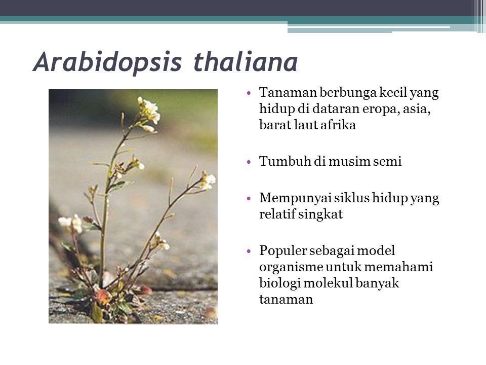 Arabidopsis thaliana Tanaman berbunga kecil yang hidup di dataran eropa, asia, barat laut afrika.