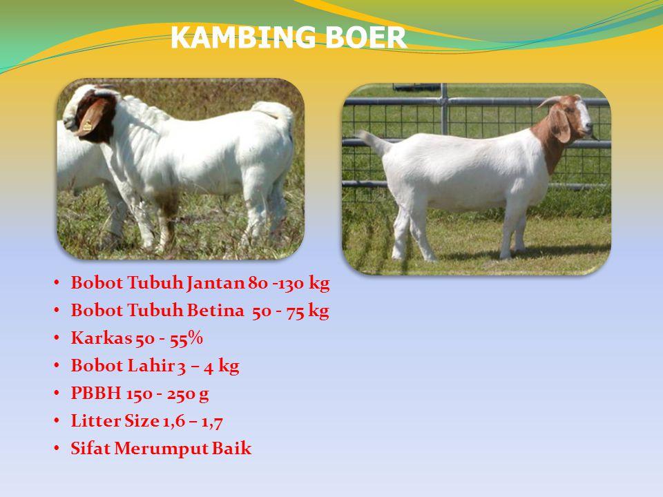 KAMBING BOER Bobot Tubuh Jantan 80 -130 kg