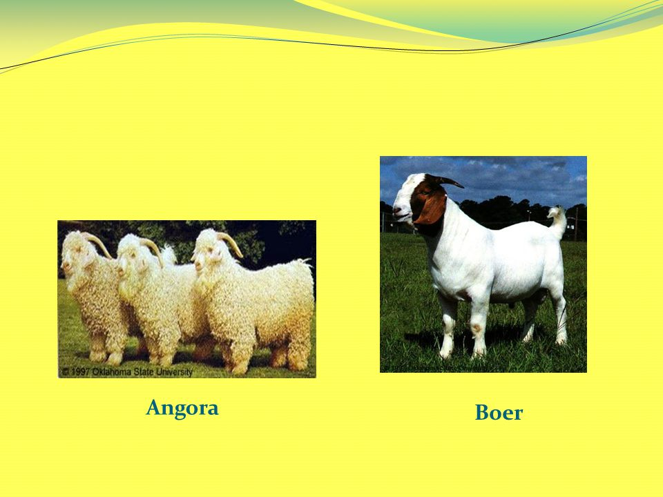 Angora Boer
