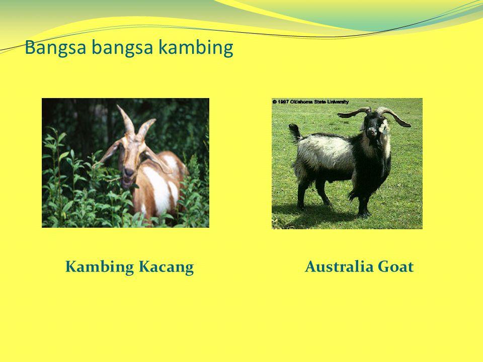 Bangsa bangsa kambing Kambing Kacang Australia Goat