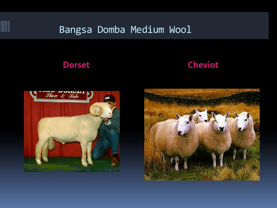Bangsa Domba Medium Wool