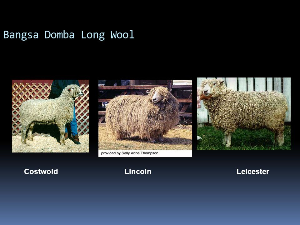 Bangsa Domba Long Wool Costwold Lincoln Leicester.