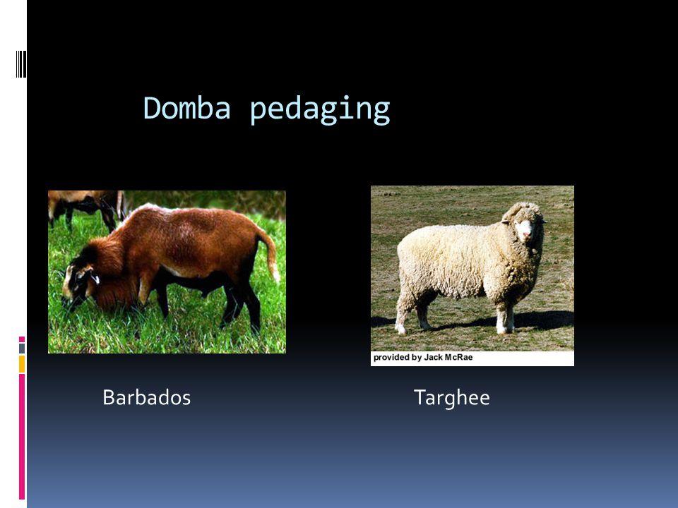 Domba pedaging Barbados Targhee