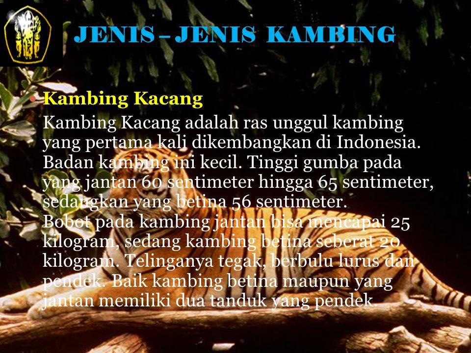 JENIS – JENIS KAMBING Kambing Kacang