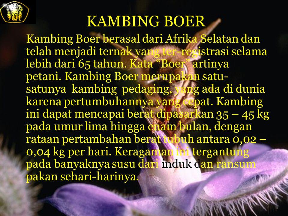 KAMBING BOER