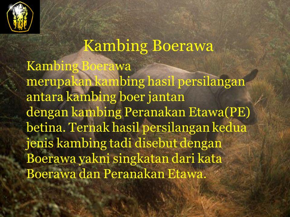 Kambing Boerawa Kambing Boerawa merupakan kambing hasil persilangan antara kambing boer jantan dengan kambing Peranakan Etawa(PE) betina.