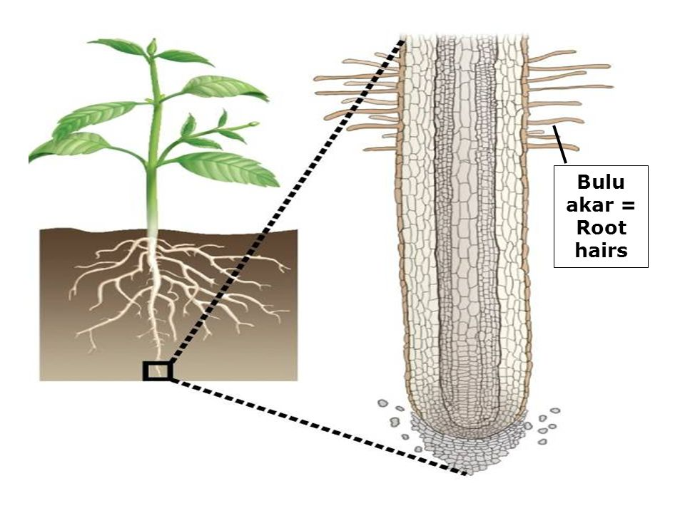 Bulu akar = Root hairs