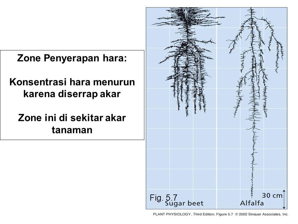 Konsentrasi hara menurun karena diserrap akar