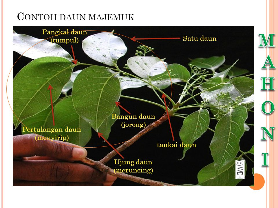 M A H O N I Contoh daun majemuk Pangkal daun (tumpul) Satu daun