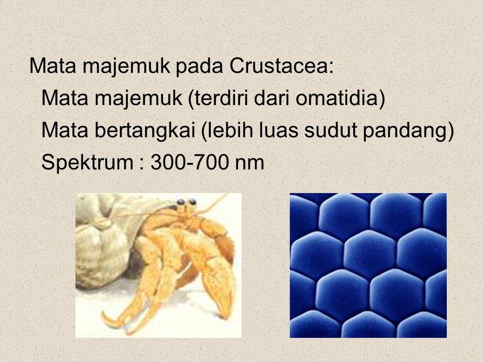Mata majemuk pada Crustacea: