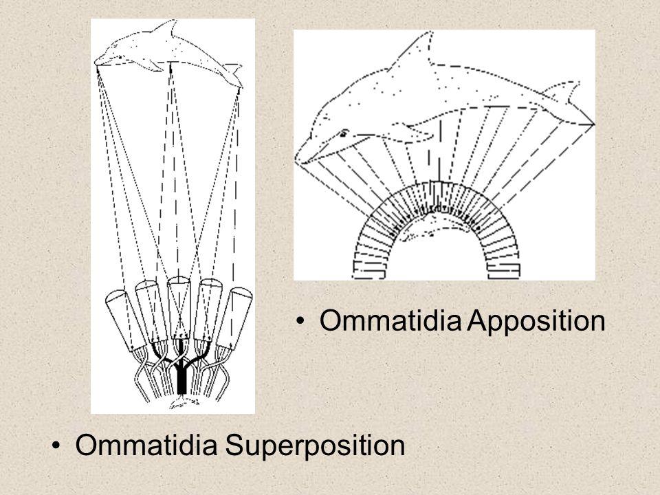 Ommatidia Apposition Ommatidia Superposition