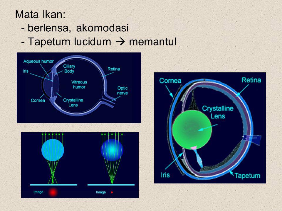 Mata Ikan: - berlensa, akomodasi - Tapetum lucidum  memantul