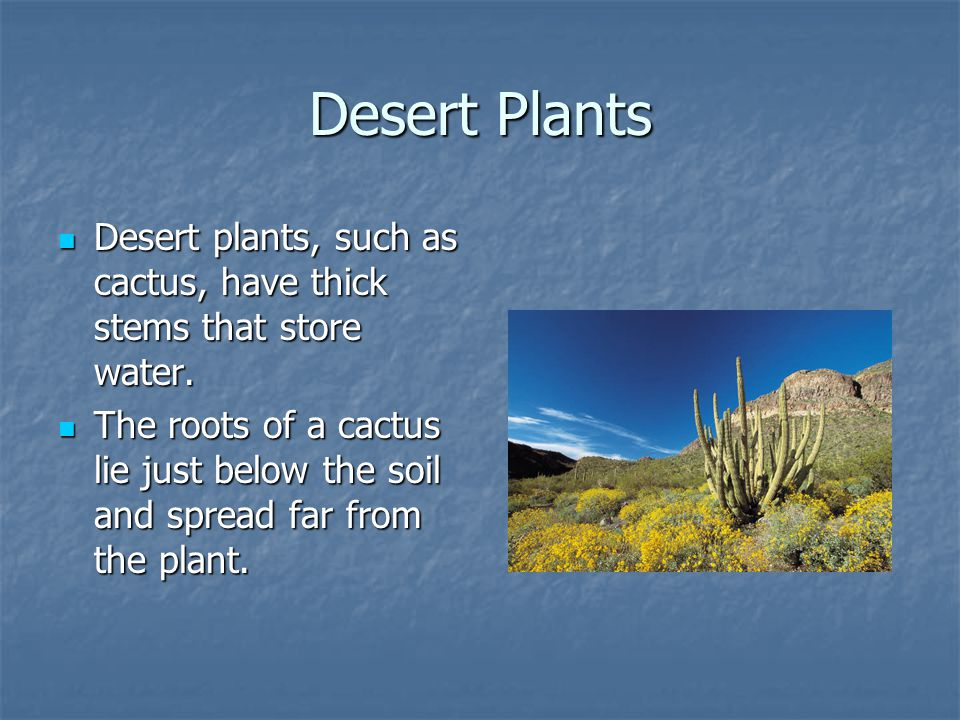Desert Plants Desert plants, such as cactus, have thick stems that store water.