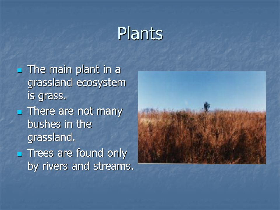 Plants The main plant in a grassland ecosystem is grass.