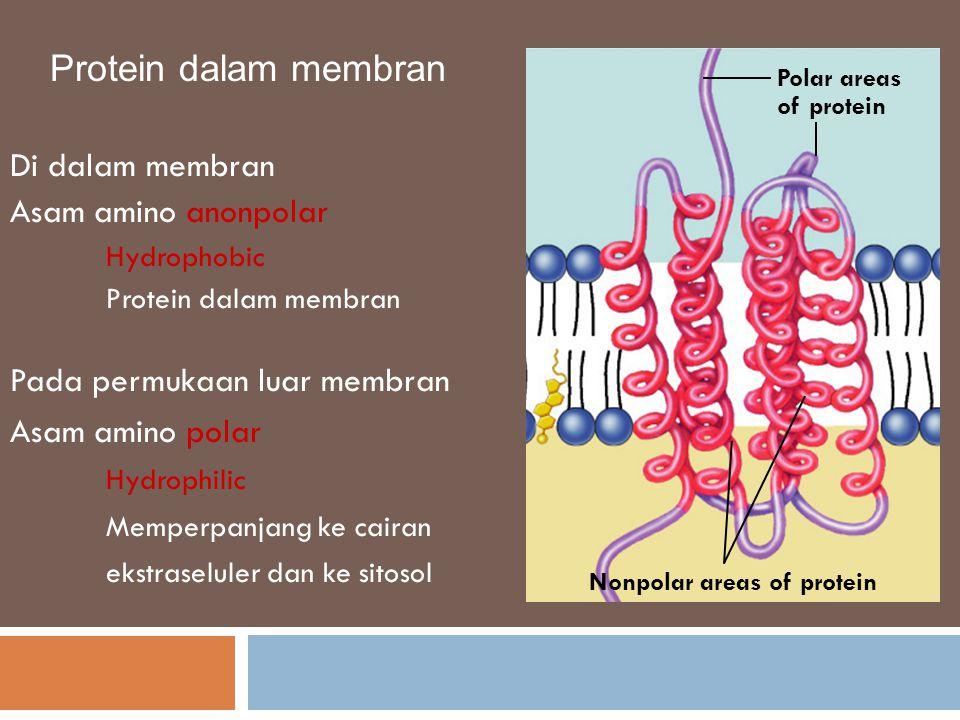 Protein dalam membran Di dalam membran Asam amino anonpolar