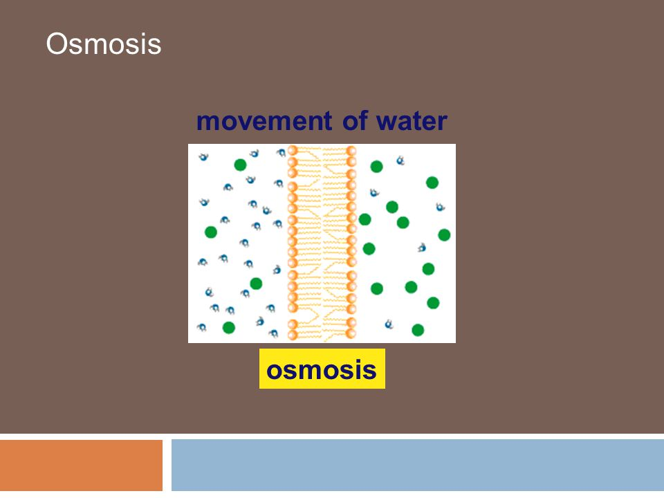Osmosis osmosis movement of water
