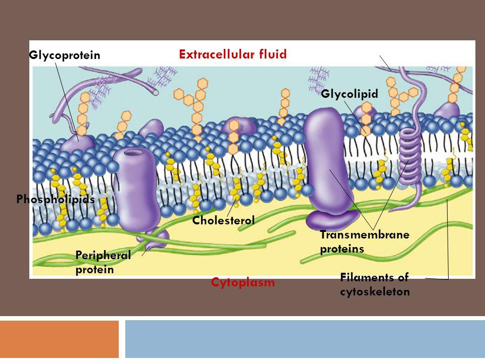 Extracellular fluid Cytoplasm Glycoprotein Glycolipid Phospholipids