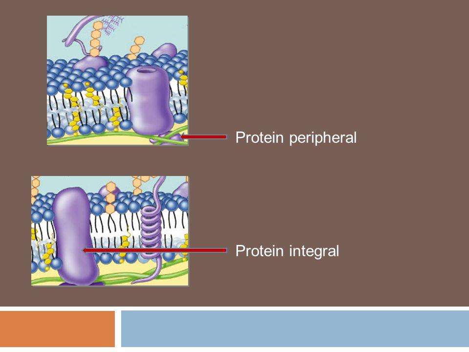 Protein peripheral Protein integral