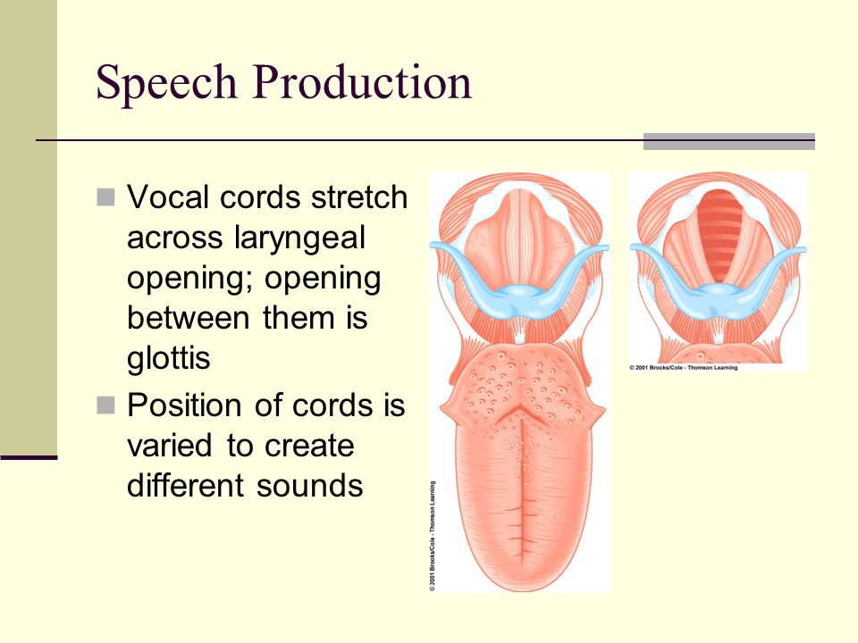 Speech Production Vocal cords stretch across laryngeal opening; opening between them is glottis.