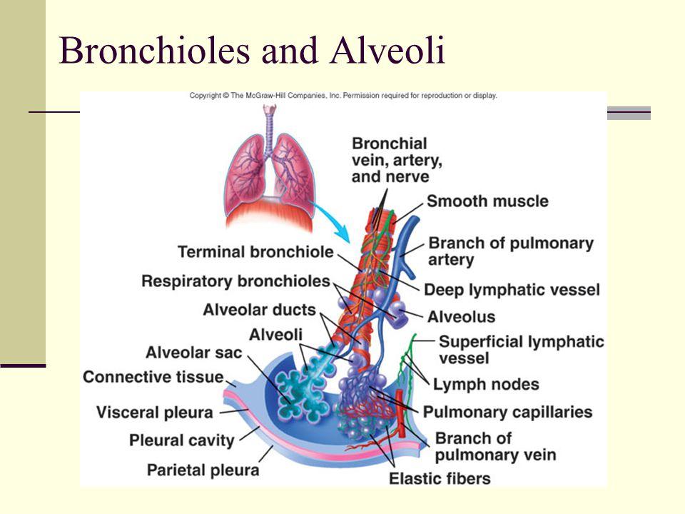 Bronchioles and Alveoli