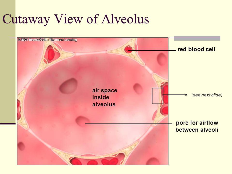 Cutaway View of Alveolus