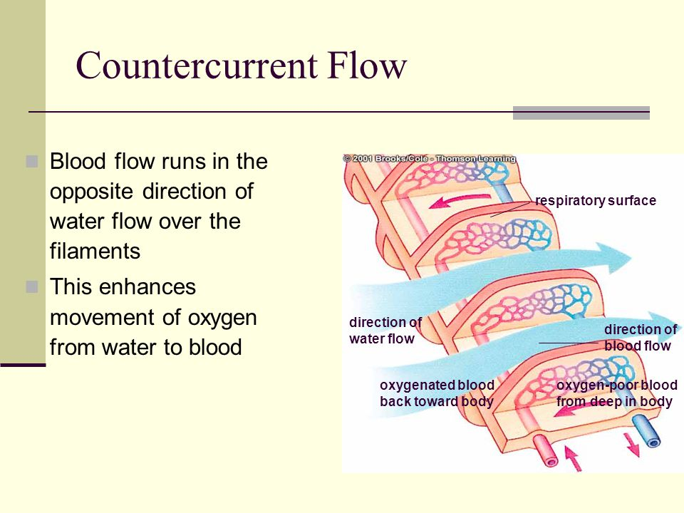 Countercurrent Flow Blood flow runs in the opposite direction of water flow over the filaments. This enhances movement of oxygen from water to blood.