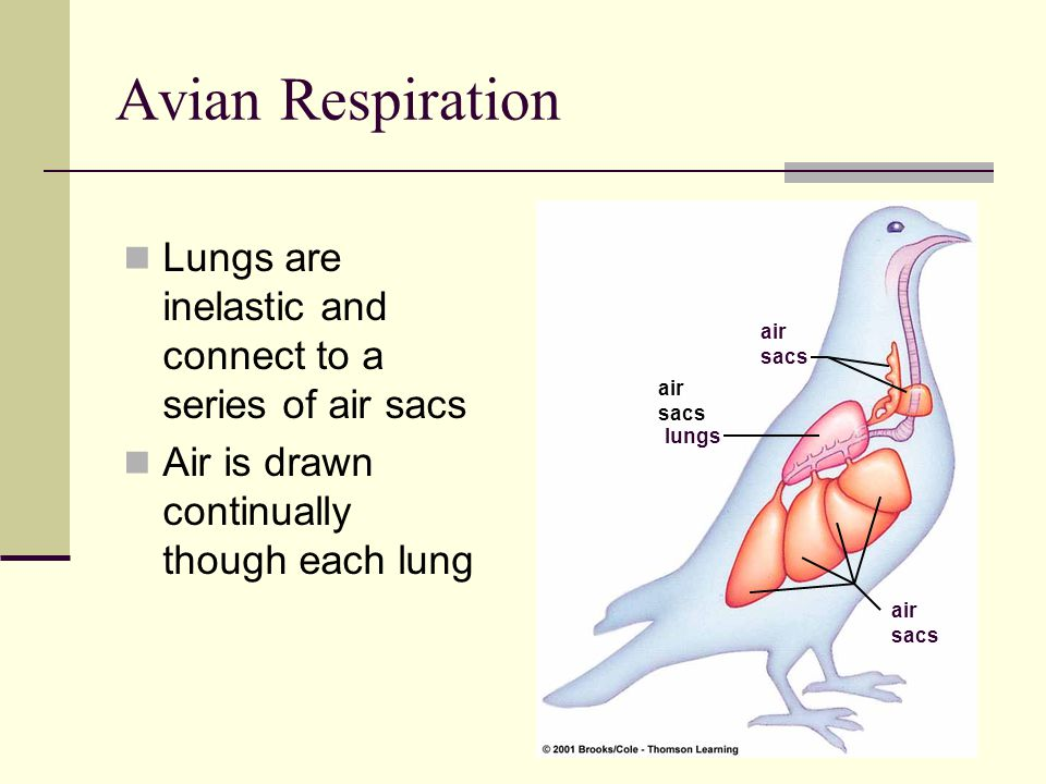 Avian Respiration Lungs are inelastic and connect to a series of air sacs. Air is drawn continually though each lung.