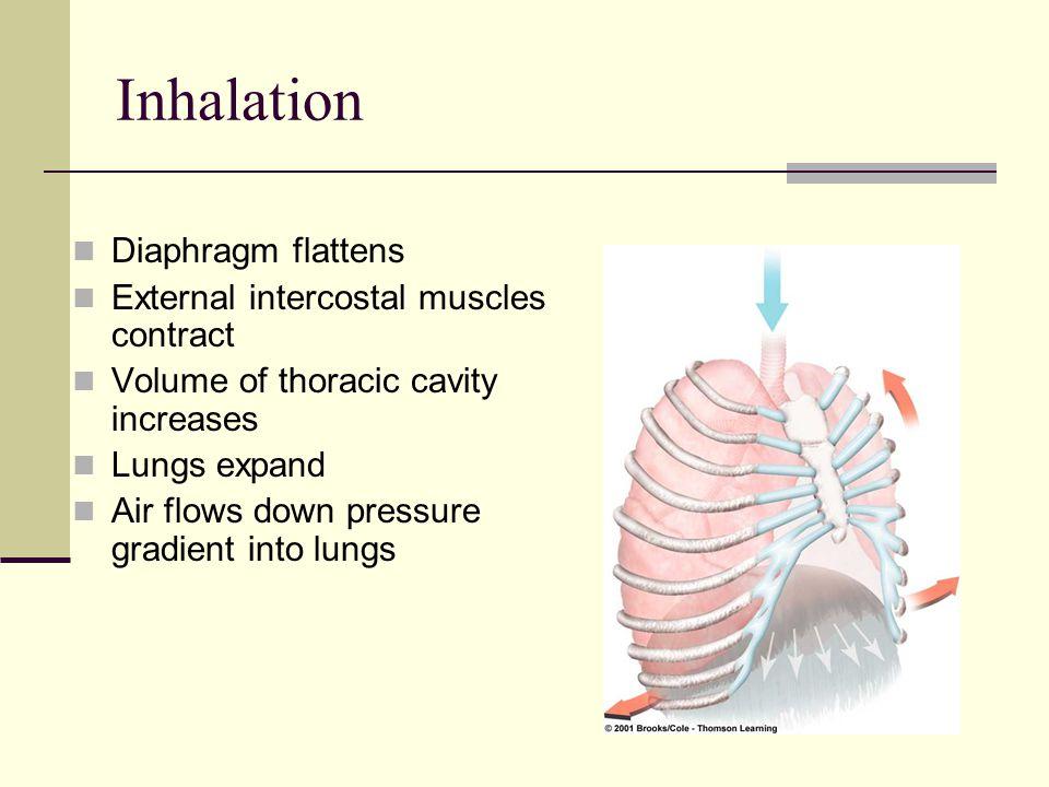 Inhalation Diaphragm flattens External intercostal muscles contract