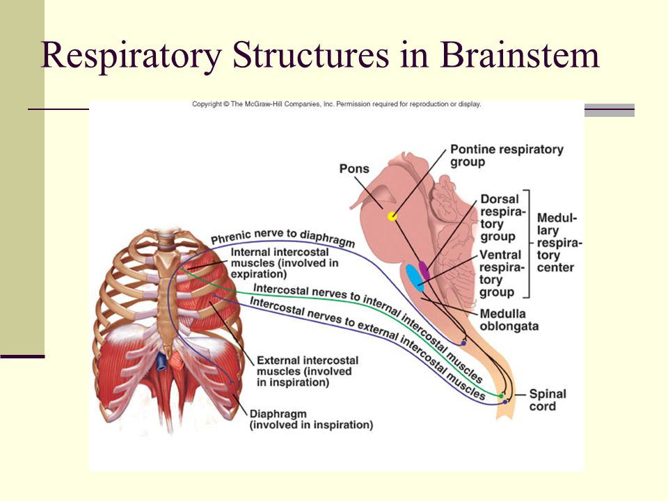 Respiratory Structures in Brainstem