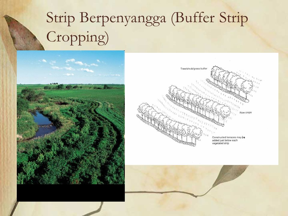 Strip Berpenyangga (Buffer Strip Cropping)