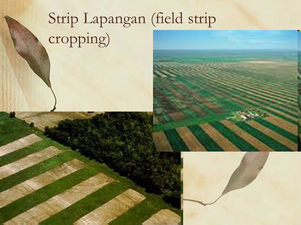 Strip Lapangan (field strip cropping)