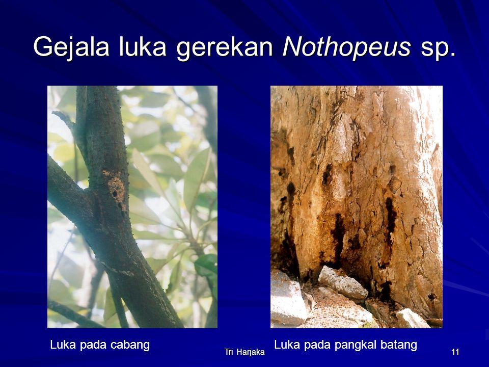 Gejala luka gerekan Nothopeus sp.