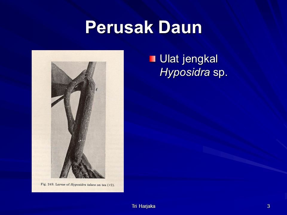 Perusak Daun Ulat jengkal Hyposidra sp. Tri Harjaka