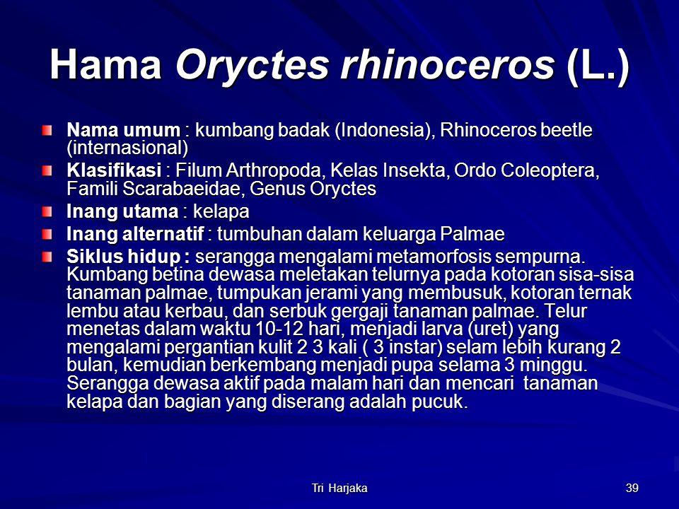 Hama Oryctes rhinoceros (L.)
